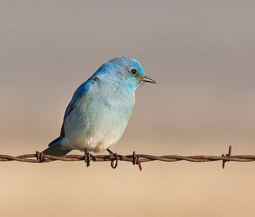 mountain bluebird c Marlin Harms
