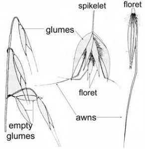 Parts of Oats (Avena spp.)