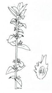 Watson's Salt Bush (Atriplex watsonii)