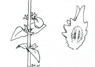 Atriplex watsonii