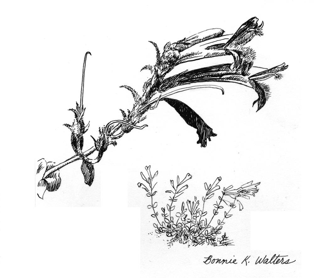 Penstemon heterophylla