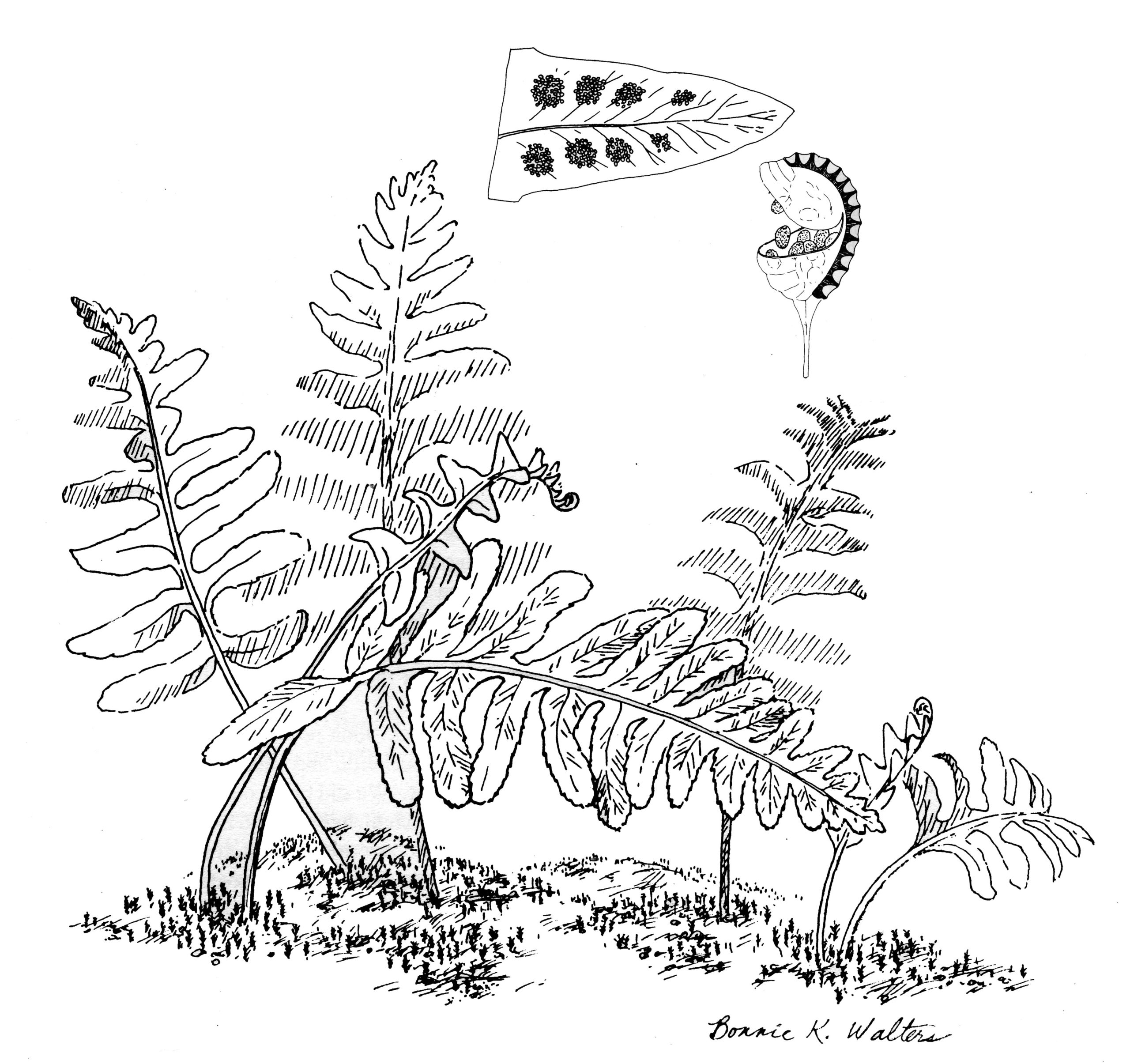 California Polypody illustration by Bonnie Walter