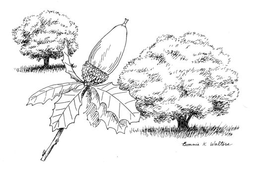 Acorn Tree Drawing Bonnie's Drawing on This Cover