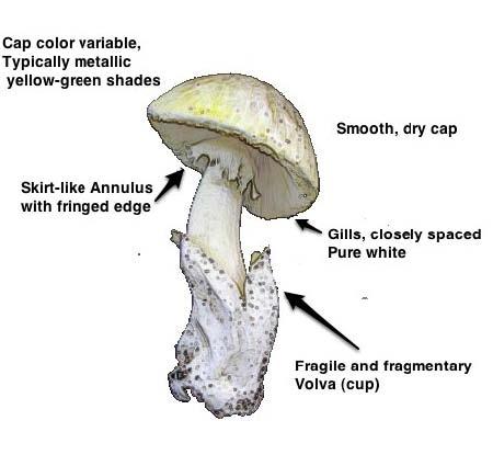 Death Cap - Amanita phalloides