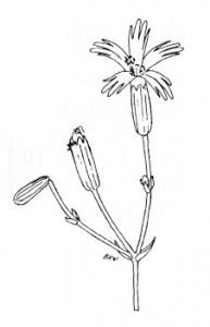 Coastal catchfly (Silene laciniata)