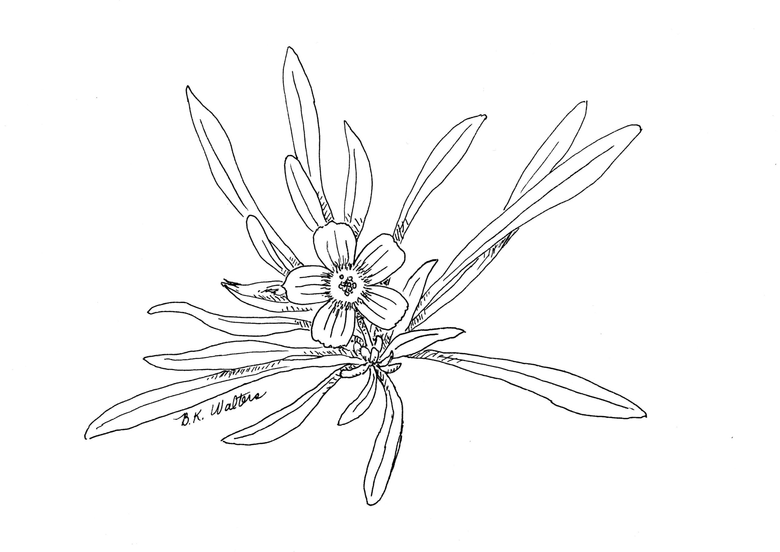 Calandrinia ciliata