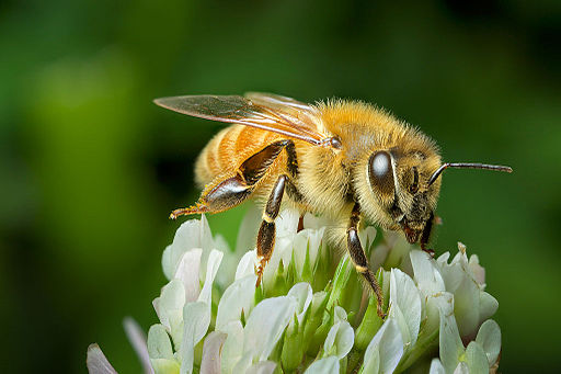 By Andy Murray (New Zealand honey bee on clover) [CC BY-SA 2.0 (http://creativecommons.org/licenses/by-sa/2.0)], via Wikimedia Commons