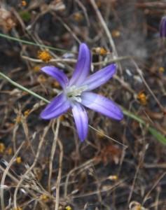 Brodiaea terrestris