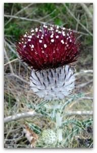 Cirsium occidentale var compacta