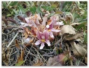 Orobanche californica