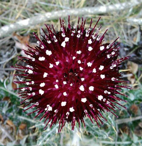 cirsium occidentale var compacta