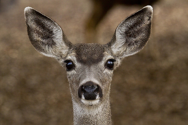 Black -tailed deer copyright Marlin Harms