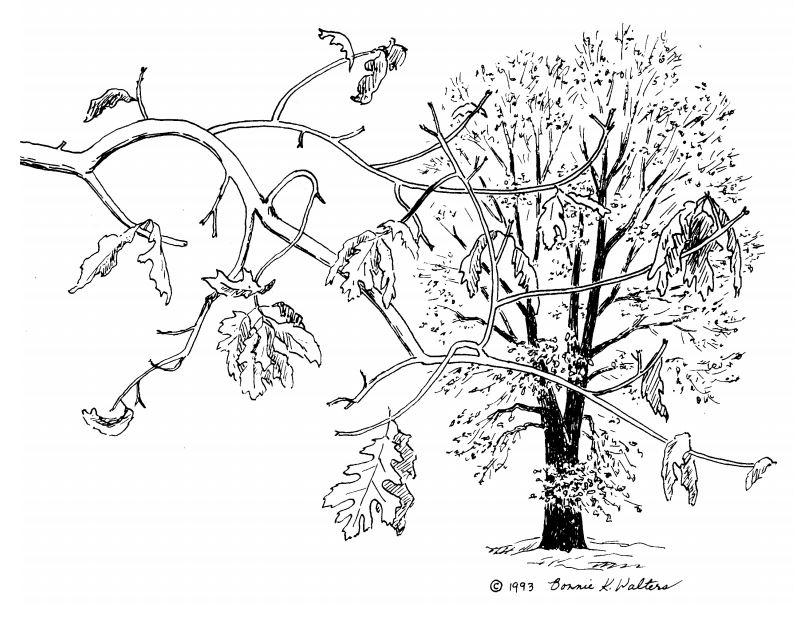 Kellogg Oak