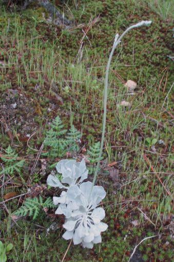 Eriogonum saxatile