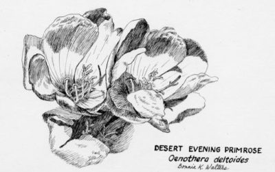 Oenothera deltoides