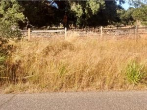 Population where Pismo clarkia is known to grow along Ormonde Rd. near Arroyo Grande, CA. Note the dominant Veldt grass and a few Pampas grass.