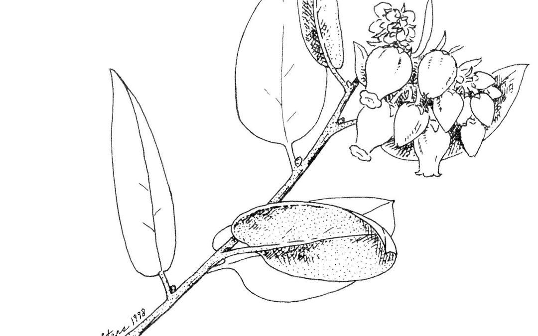 Manzanita in the Garden