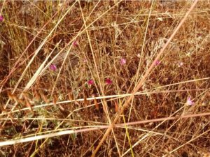 Close up of Pismo clarkia peeking through Veldt grass and other annual grasses at the Ormonde Rd. site.