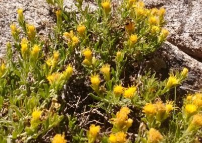 Ericameria discoidea  (Nutt.) G. Nesom Macronema goldenbush,  Rayless goldenbush, Whitestem goldenbush