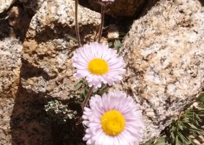 Erigeron compositus  Pursh Cut leaved daisy,  Cutleaf daisy