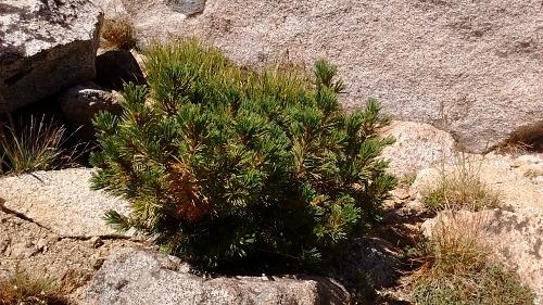 Pinus albicaulis  Whitebark pine