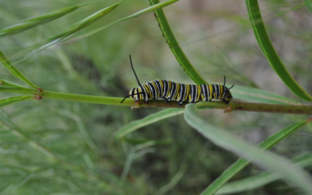 Water a Milkweed, Kill a Monarch?