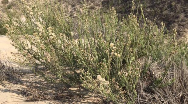 Invasive Species of the Month – Erigeron bonariensis