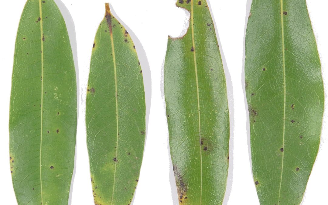Sudden Oak Death Enters SLO County