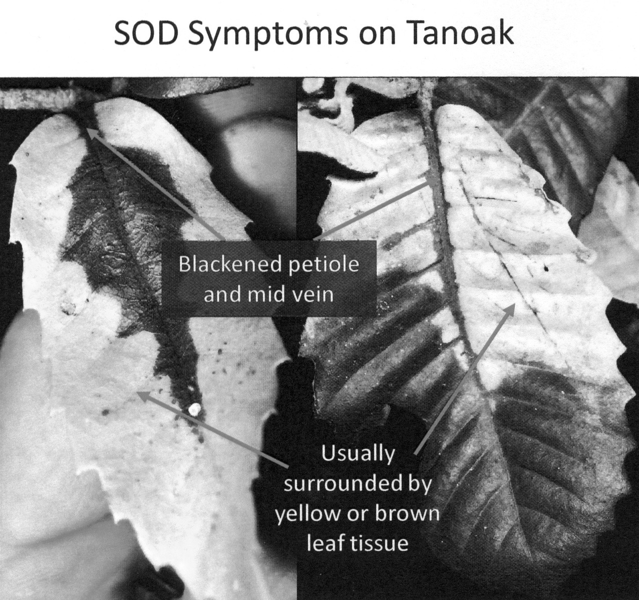 SOD symptoms on Tanoak