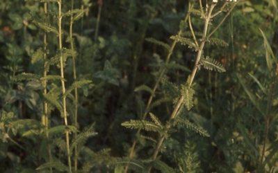 Common (White) Yarrow (Achillea millefollium)
