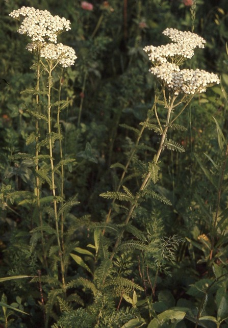 Common (White) Yarrow (Achillea millefollium)