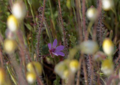 Carrizo Plain Purple Gila Richard Pradenas