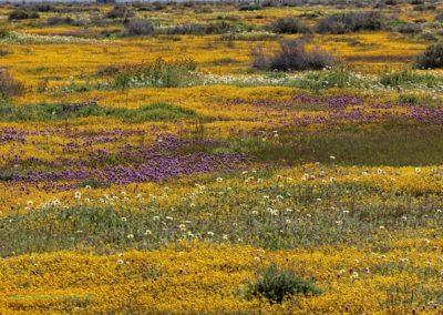 Carrizo Plain 2006 Super Bloom Richard Pradenas