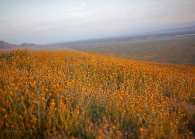Carrizo Plain Fiddlenecks Field Richard Pradenas
