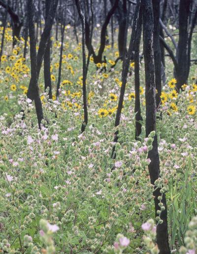Sidalcea hickmanii anomala & Helianthus Mass