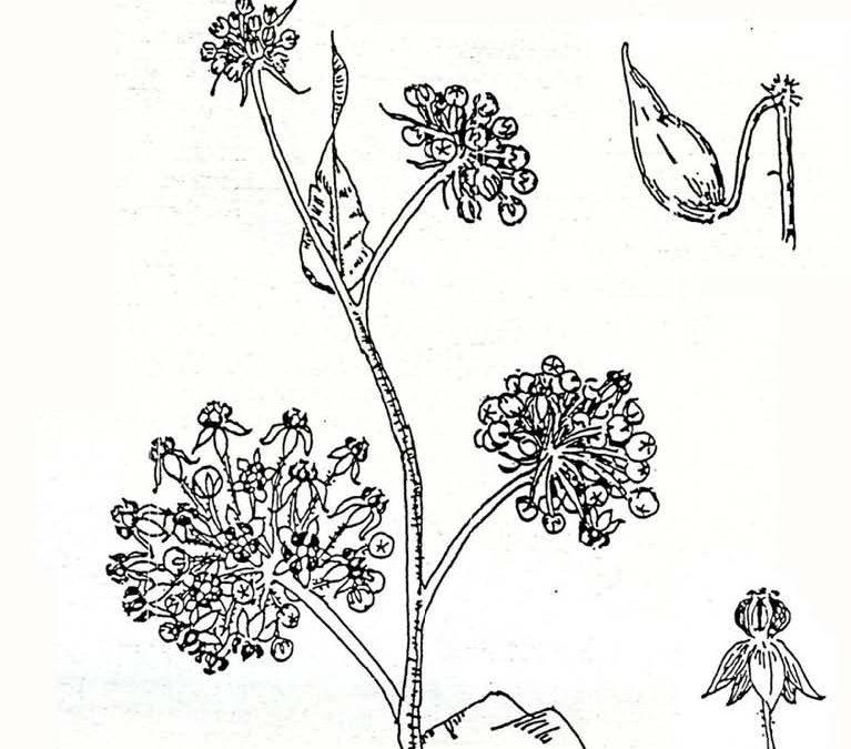 Common Milkweed (kotolo) Asclepias eriocarpus