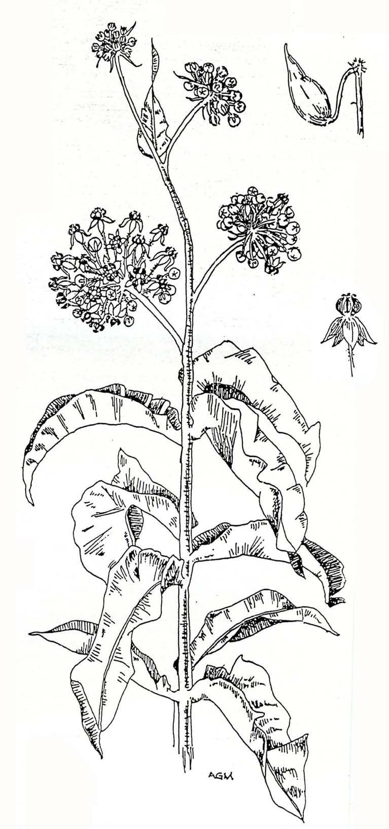 Featured plants cnps slo common milkweed image pooptronica Images
