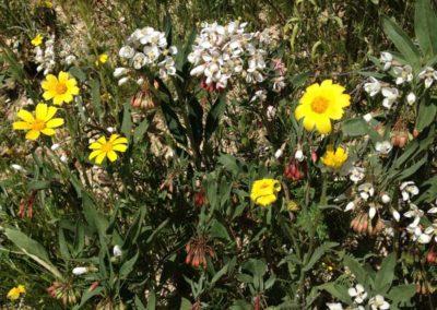 desert shredding primrose