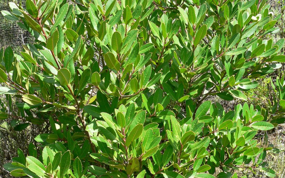 Heteromeles arbutifolia (Toyon)
