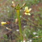 Brassica tournefortii bloom image