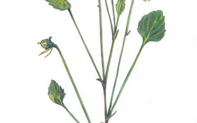 Viola pedunculata (Johnny-jump-up)