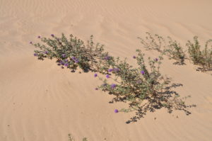 Monardella undulata ssp. crispa