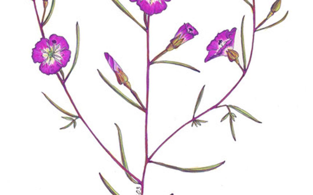 Clarkia speciosa subsp. immaculata (Pismo Clarkia)