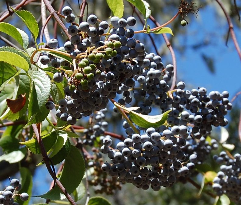 Blue Elderberry (Sambucus coerulea or mexicana)