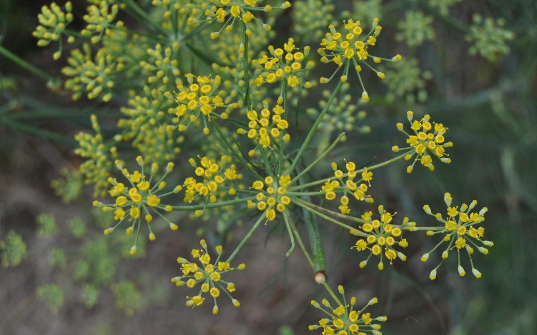 Invasive Species Report – Fennel (Foeniculum vulgare)