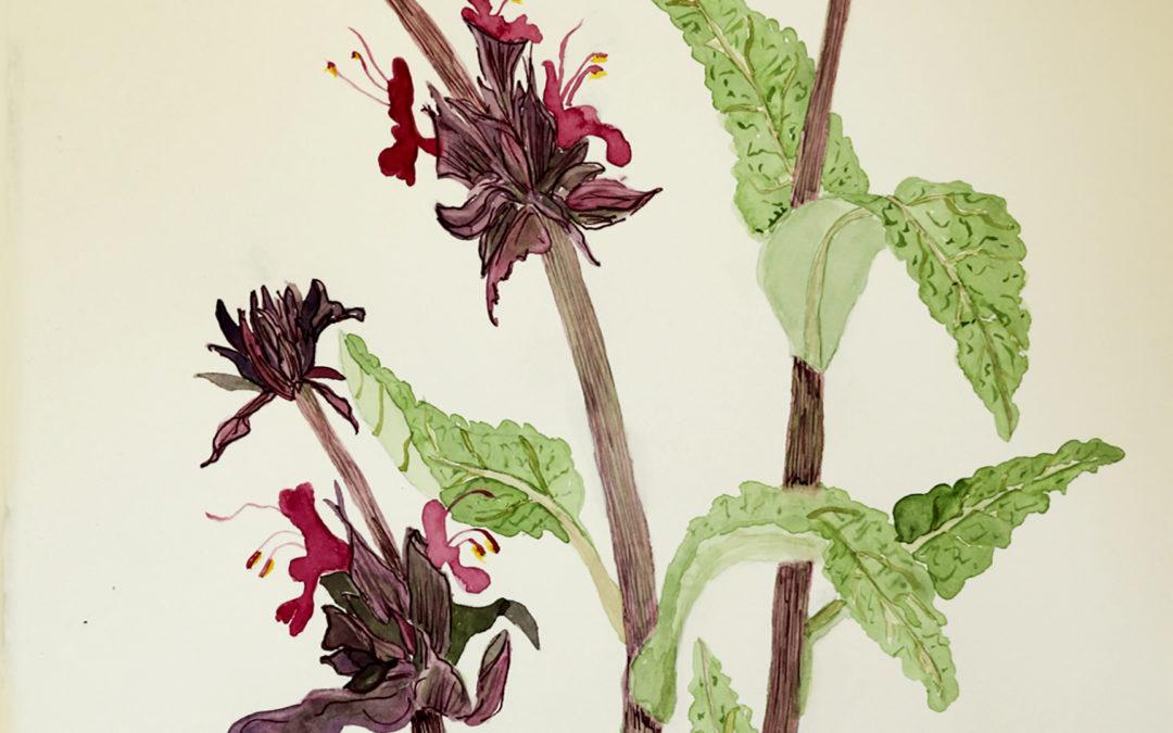 Salvia spathacea (Hummingbird Sage)