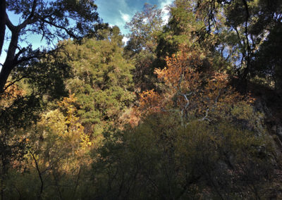 Santa Rita Creek riparian forest, Sierra Club-CNPS biking field trip Santa Rita Rd 11-18-2018