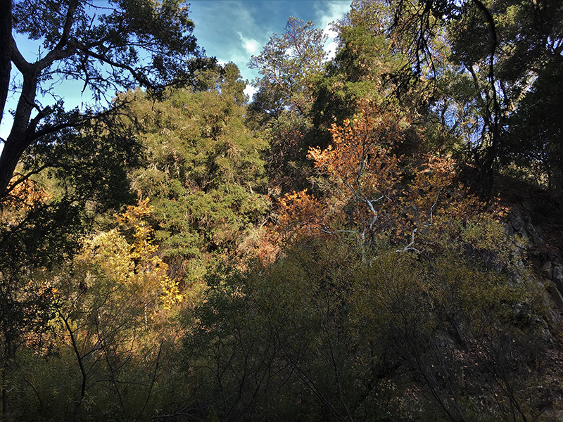 Santa Rita Creek riparian forest, Sierra Club-CNPS biking field trip Santa Rita Rd 11-18-2018