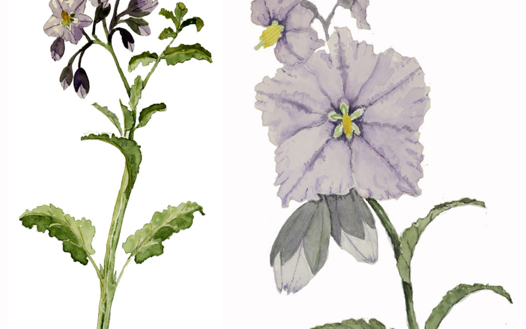 Solanum xanti watercolor