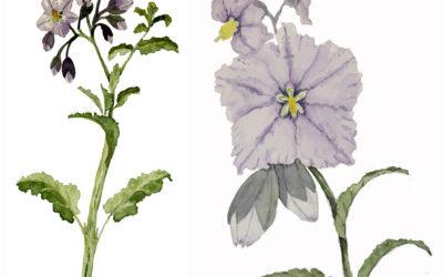 Solanum xanti (Blue, Purple, Chaparral, or San Diego Nightshade)
